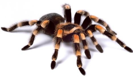 Red-kneed tarantula Brachypelma smithii